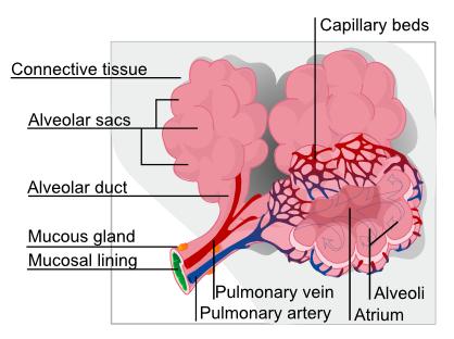 Apa Itu Alveoli?