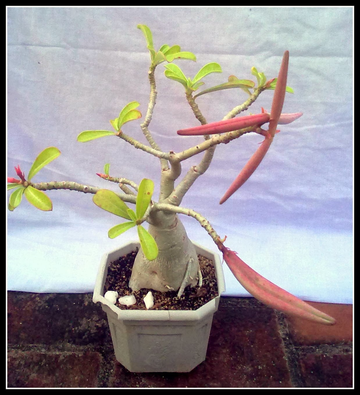 Adenium Bonsai Care Home Garden And Landscaping
