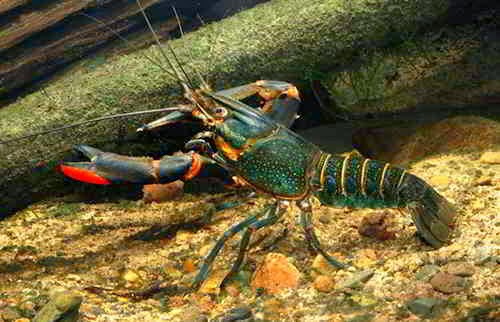 Habitat Asal Lobster Air Tawar