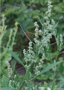 Benefits Of Wild Arrach (Chenopodium Vulvaria) For Health