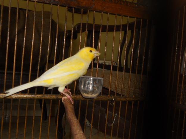Burung Kenari Af Blorok Putih Tokobaguscom Picture