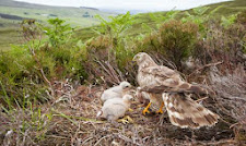 BAN DRIVEN GROUSE SHOOTING