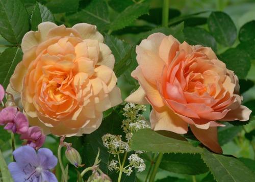 Grace rose сорт розы фото купить саженцы