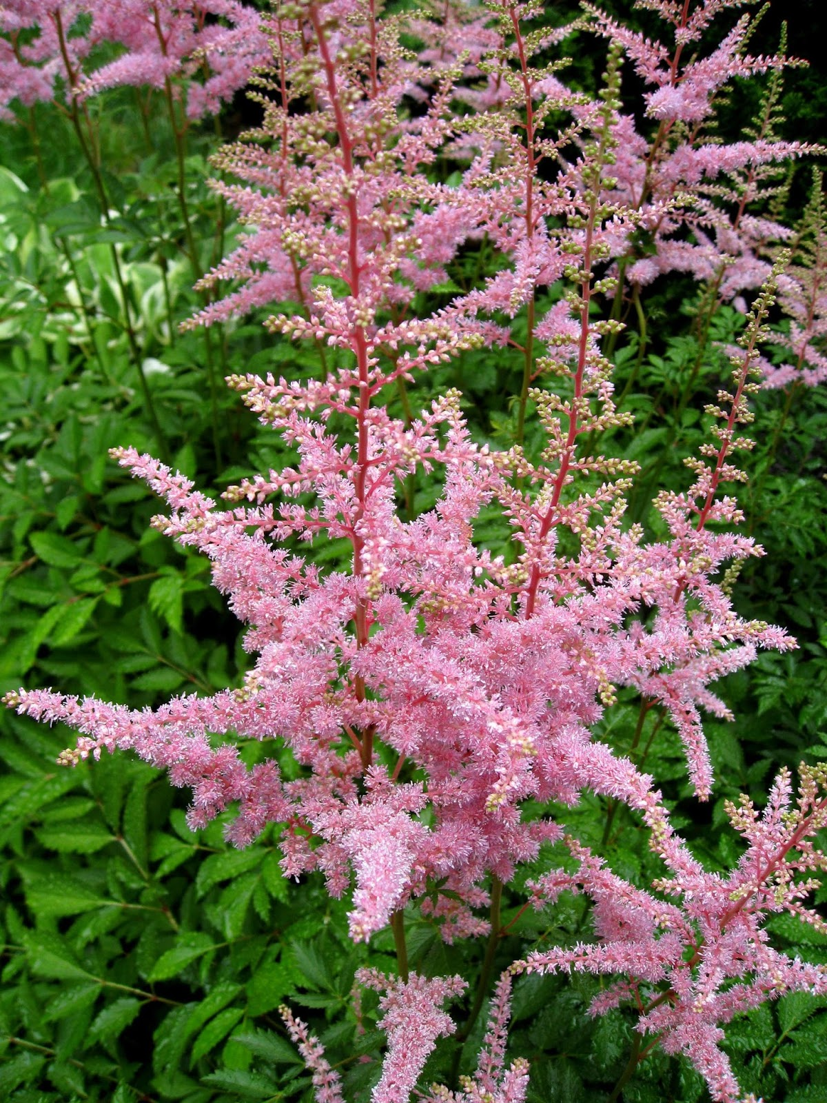 Image Astilbe_bunch_2.jpg free for use with attribution