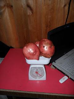 Три клубня картошки -более 2 кг!