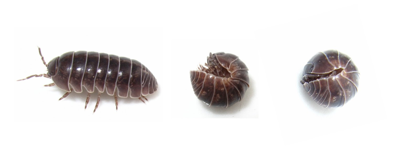 woodlouse information Woodlice have been an area of study and a very popular outreach event for  many years  more detailed information on woodlice is available as a pdf for  you to.
