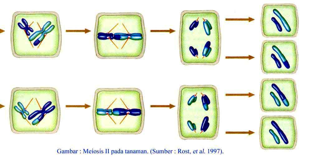 Reproduksi Sel ~ Analisis Dunia Kesehatan