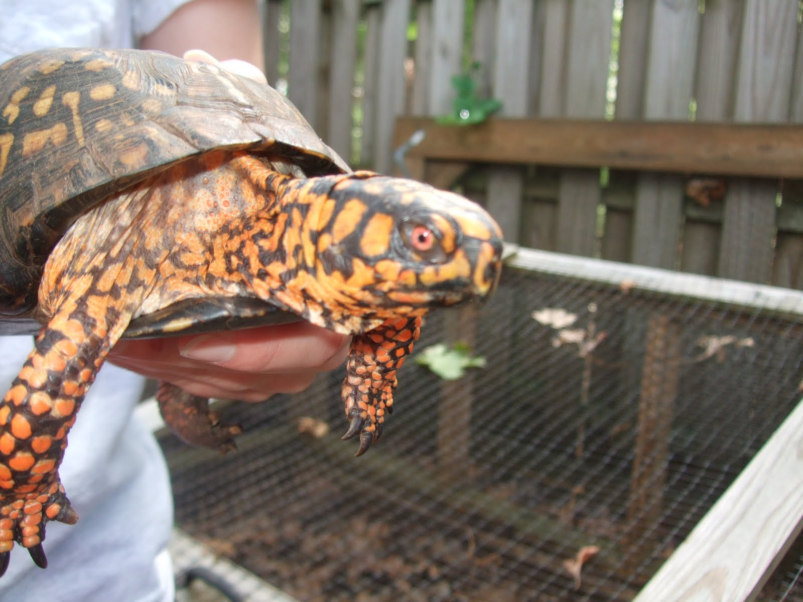 Male Eastern Box Turtle Was a Male Box Turtle And