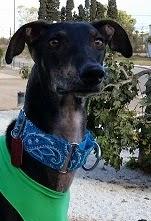 Collares para galgos - Martingales - camisetas lycra - accesorios perros