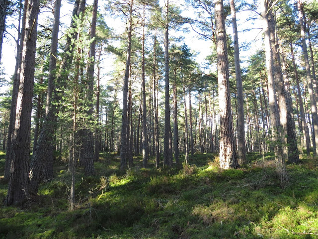 Scottish Forest