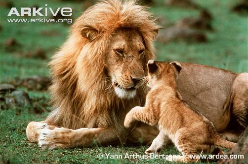 Believing the unbelievable the lion and the cub - Photos de lions gratuites ...