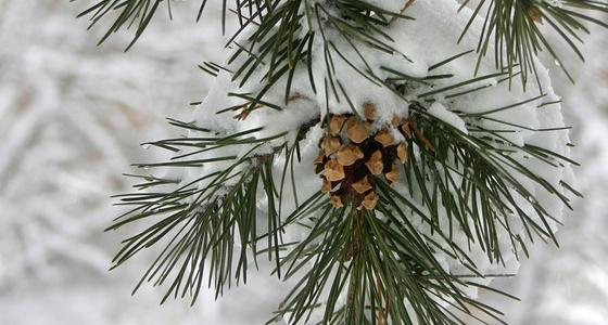 Branche de sapin naturel couverte de neige