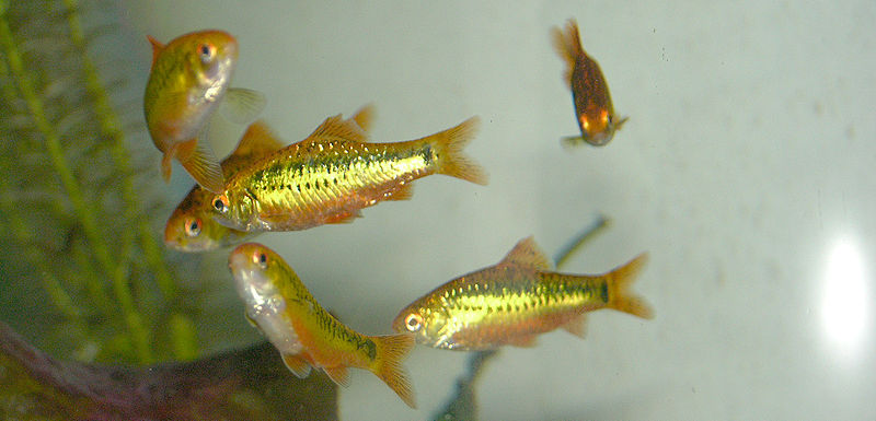 Chas 39 compilation my surrogate goldfish substitute the for Gold barb fish
