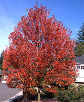 Autumn Blaze Tree1