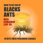Fast & cost effective natural way to get rid of black ants
