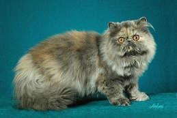 gambar kucing blue tortoiseshell