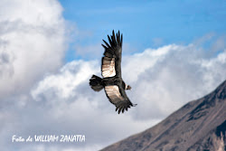 Condor del canyon del Colca