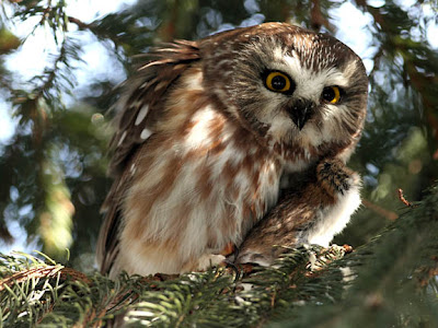 Northern Saw-whet Owl Eating a Mouse