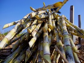 Unique Japan Tours Amami Oshima Kokotou Shouchu Sugar Cane
