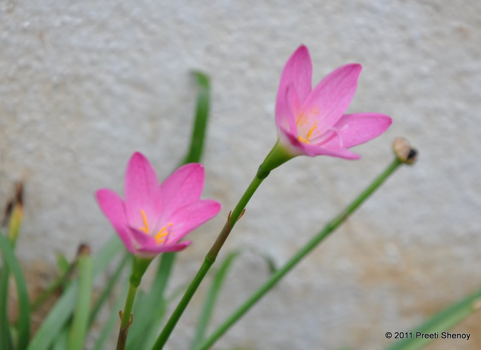 preeti shenoy's blog. some flowers from my garden, Beautiful flower
