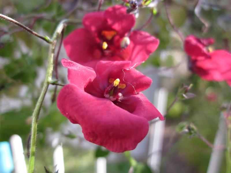 Elfensporn (Diascia) ist für eine einjährige Pflanze erstaunlich winterhart - er überlebt die ersten Frosttage