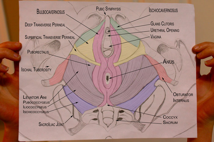 Pelvic Health And Alignment   Pelvic Floor Muscles And