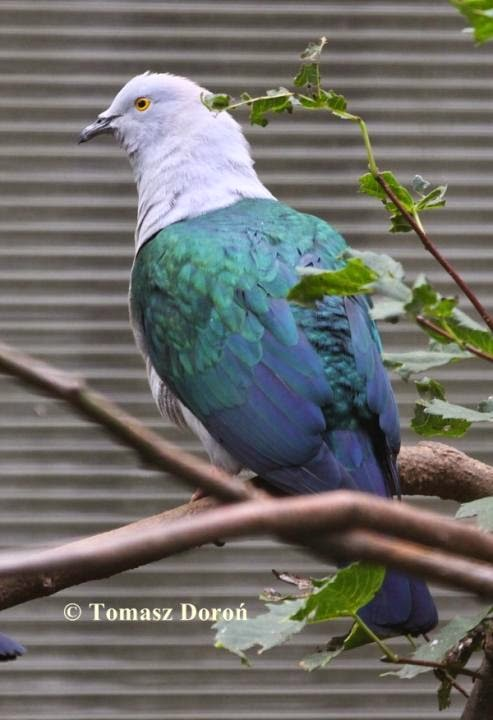 Blue tailed imperial pigeon Ducula concinna