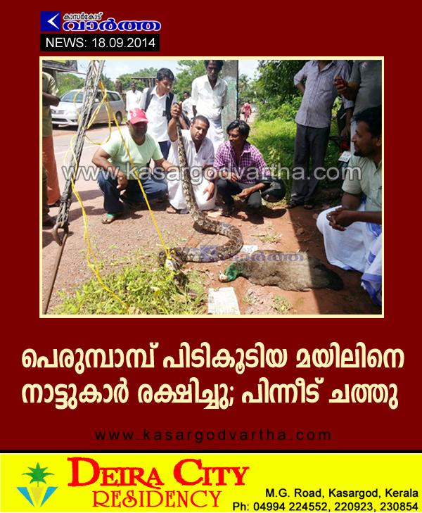 Snake, Peacock, Paika, Kasaragod, Kerala, Baladka, Python trapped
