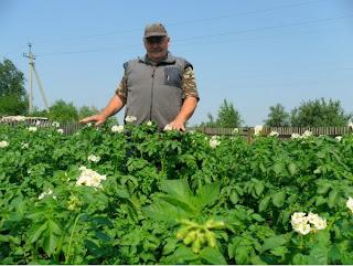 4 июля, картофель вырос уже по пояс