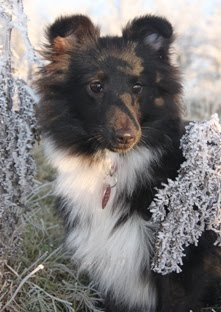 meet The KNIGHTs Sheltie - SEN, Czech import