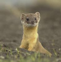 Jon Huntsman Called Weasel, Runs For President