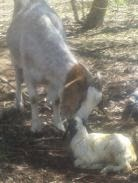 baby Boer goat, birth of baby goat,