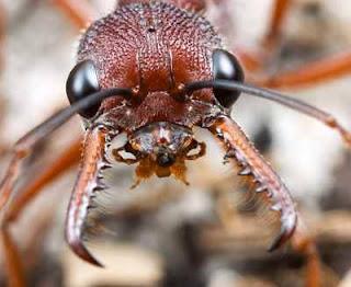 Semut Siafu,Semut Pembunuh Manusia
