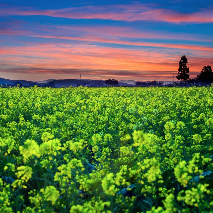 Mustard Sunset, Fremont, CA -- by Harpreet Grewal