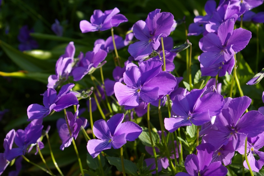 Viola Plant Tattoo Unnamed Cultivar From