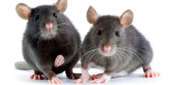 tikus bisa bernyanyi
