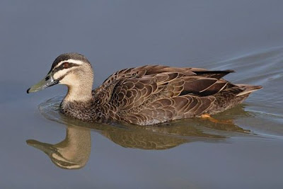 Most Amazing Recently Extinct Animals Mariana Mallard