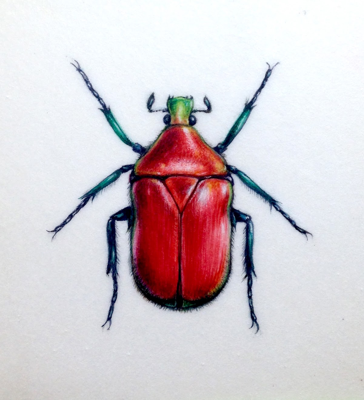 Red beetle painting on vellum, watercolour