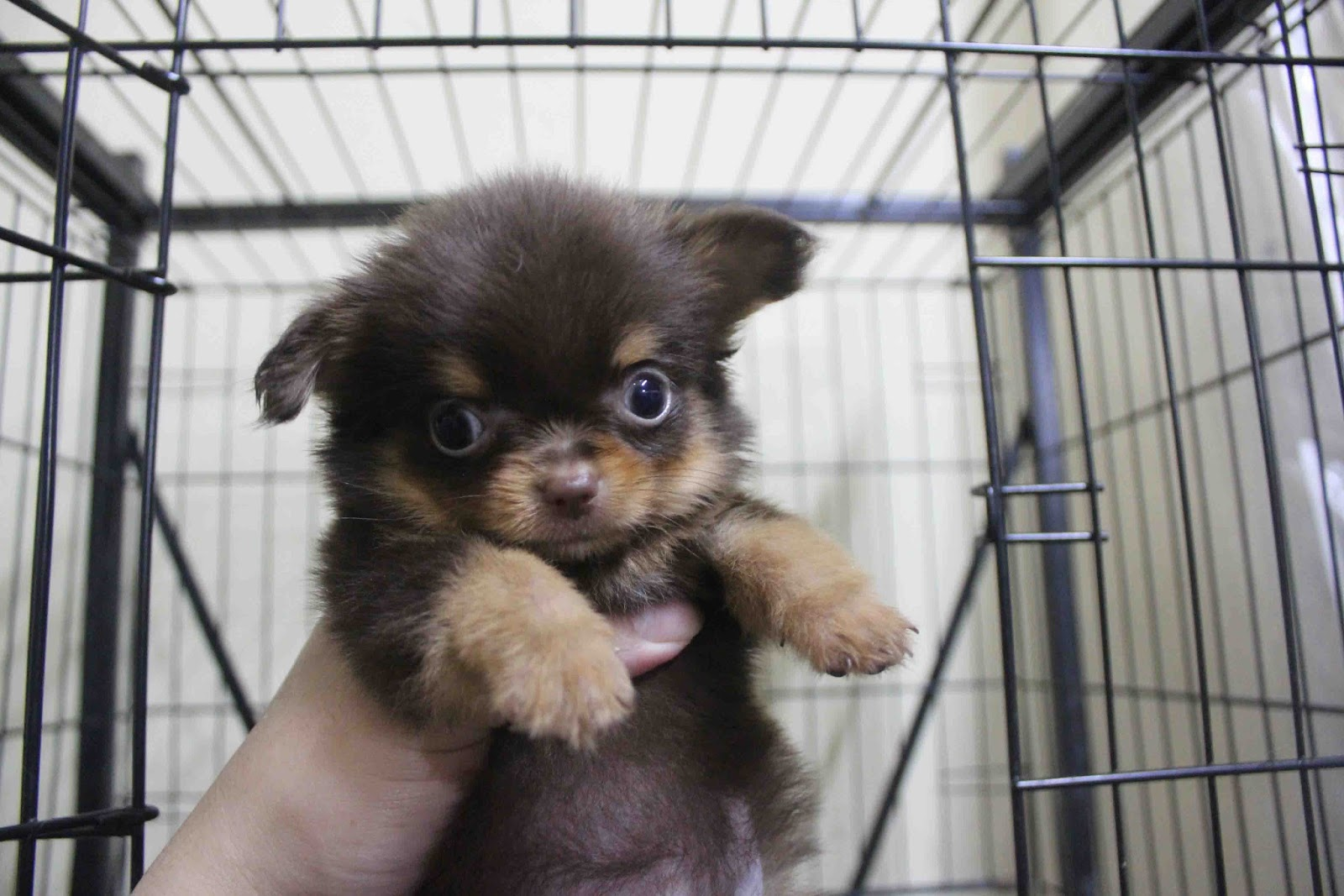 Displaying 18> Images For - Black Long Hair Chihuahua Puppies...