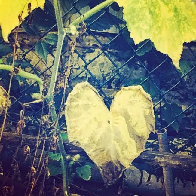 dried heart leaf poking through a fence