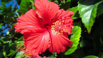 Rote Hibiskusblüte auf den Seychellen