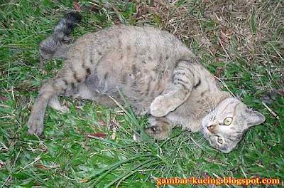 gambar seekor kucing montel bergolek atas rumput