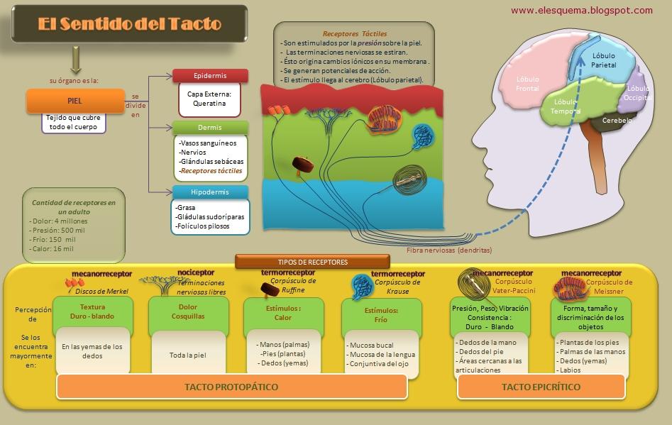El Sentido del Tacto | Esquemas, diagramas, gráficos y mapas ...