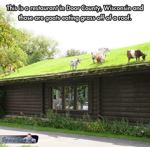 funny goats pics humor