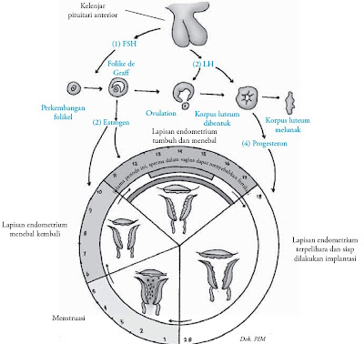 Fase Menstruasi, Praovulasi, Ovulasi, Pascaovulasi pada Siklus Menstruasi