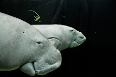 Dugongs