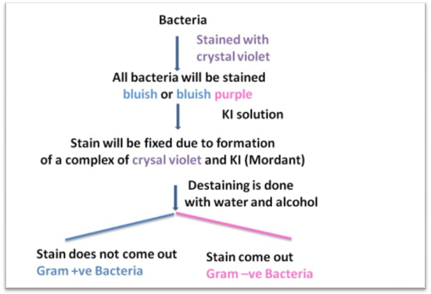 ... ? Gram Staining Principle: Step by step procedure with explanation