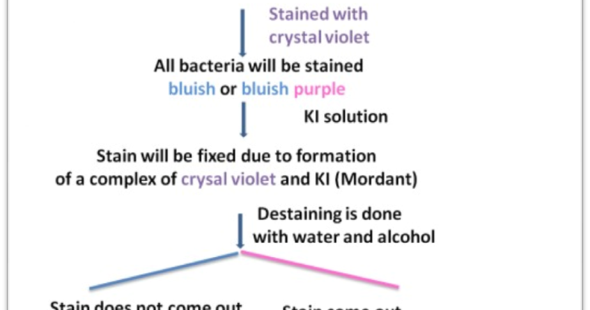 differential grams staining essay Gram staining is a quick procedure used to look for the presence of bacteria in   you may allow the slide to air dry, or blot it dry using bibulous paper sold for this.