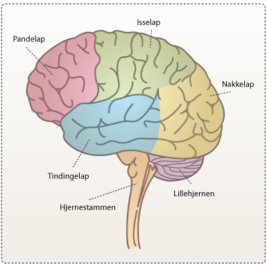 alkohols påvirkning på hjernen