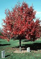Autumn Blaze Pear2